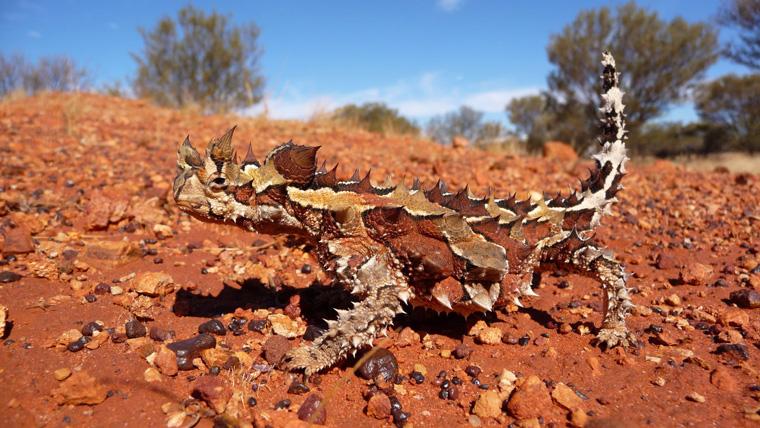 The thorny devil lizard