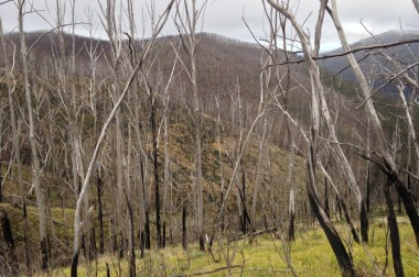 This alpine ash forest, in the high country of Victoria, was burned three times between 2003 and 2013, and as a result has not been able to regenerate. Tom Fairman