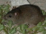 The now extinct Bramble Cay melomys