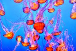 A jellyfish bloom indicates something is out of balance and is responding.