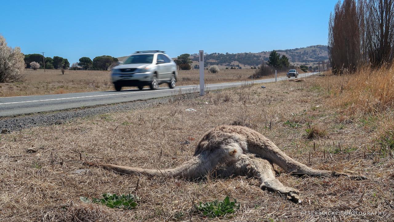 Drought roadkill