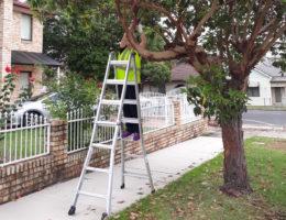 Installation of a temperature sensor in a street tree (Queensland brush box)