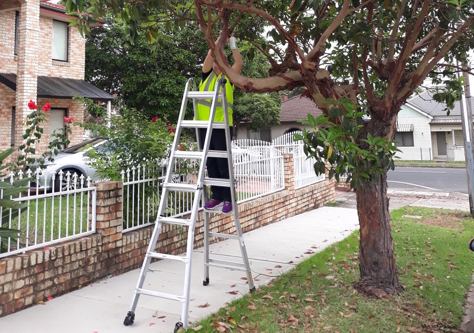 Installation of a temperature sensor in a street tree (Queensland brush box)