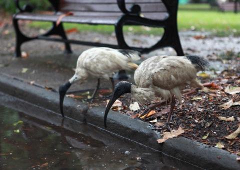 2 Ibisse vor einer  Parkbank trinken aus einer Pfütze in einem Park in Sydney