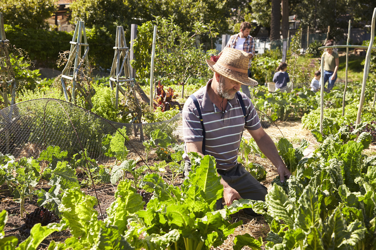 Mature Man Working On Community Allotment