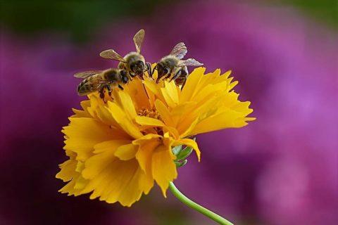 animal-insect-honey-bee-bee